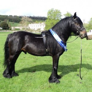 Birkett Bank Fell pony wearing Nicola Watson Leatherwork in hand set